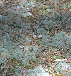 "A ground cover of reindeer ""moss"". This species is an important food source for many animals."