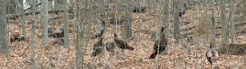 Wild turkeys forage for acorns in the woods.