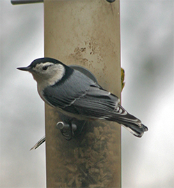 A white-breasted nuthatch feeds at a Droll Yankee tube feeder.