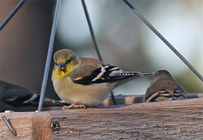 An American goldfinch in winter plumage enjoys seed from the platform feeder.