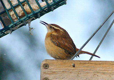 A Carolina wren picks at suet from the platform feeder.