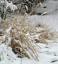 The ornamental grasses have been beaten down by the snow. They will be cut back very soon.