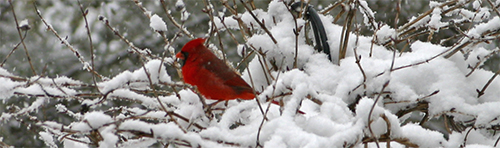 A bright red cardinal sits atop a snowy honeysuckle