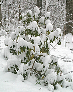 Rhododendron covered with fresh snow in March