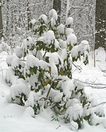 A rhododendron droops under the weight of the snow.