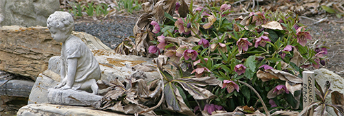 Helleborus orientalis begin blooming in mid to late winter.