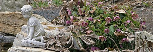 Helleborus orientalis begin blooming in mid to late winter.