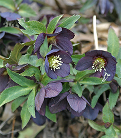 A beautiful black hellebore