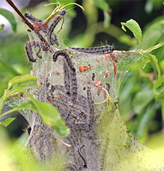 Large tent caterpillars consume a tremendous amount of foliage.