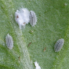 Mealybugs like to hang out on the underside of leaves.