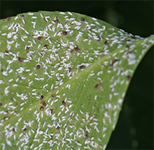 Scale insects cover the underside of this Euonymus leaf.