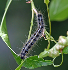 During the day, tent caterpillars venture out of the nest to forage.