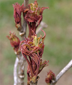 Tree peony buds and young foliage