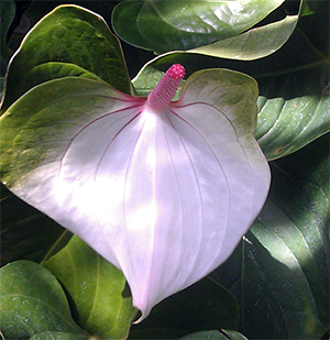 Anthurium inflorescence