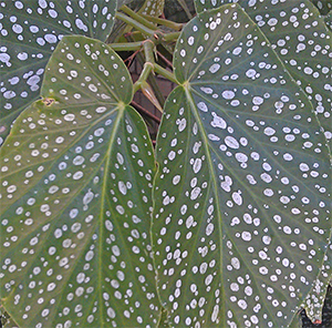 Begonia leaves