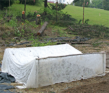 We covered the broccoli bed with row cover pinned to the ground to protect them from nasty green caterpillars.