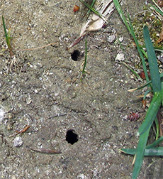 Ground bee holes in bare soil.