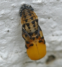 Lady beetle adult emerging from a pupa case
