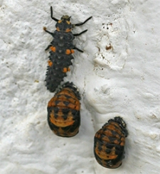 A larval lady beetle lays motionless beside two pupae
