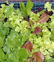 Delicious lettuce mix
