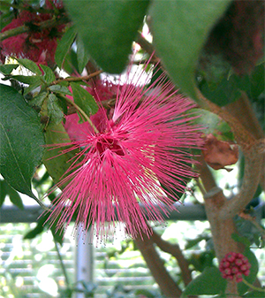 Pink powder puff plant