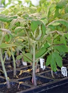 Tomato seedlings growing under lights