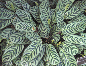 This variegated prayer plant almost made me dizzy!