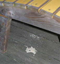 Sawdust Accumulating Under The Carpenter Bee Nest Hole