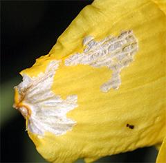 Thrips damage on a daylily petal