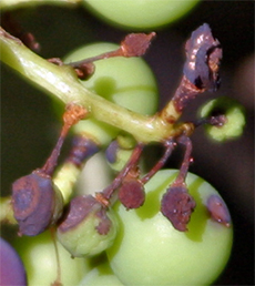 Grape mummies must be removed from the vine to reduce infection next season.