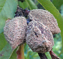 Brown rot has already destroyed many of the peaches.
