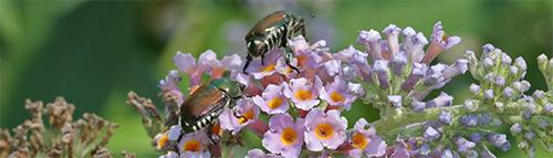 Japanese beetles crawl over Buddleia flowers