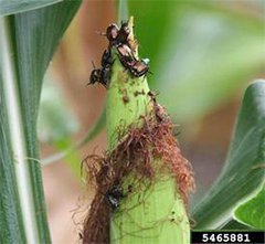 Japanese beetles love corn silk. Daren Mueller, Iowa State University, Bugwood.org