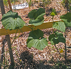 Cucumbers after diseased leaves were removed.