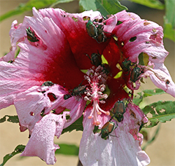 Japanese beetles shred a beautiful hibiscus flower.