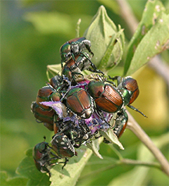 There will be nothing left of this Rose-of-Sharon flower when these beetles are through!