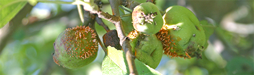 Cedar apple rust on young apples