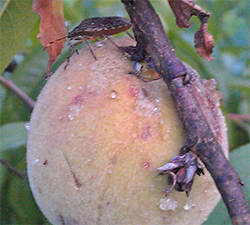 A stinkbug on one of the peaches. Clear, sticky gum on the surface of the peach shows where they were feeding.