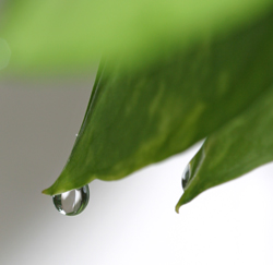 Guttation causes a droplet of water to form at the tip of a pothos leaf