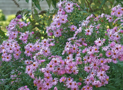 Aster n.a. 'Harrington's Pink' makes a beautiful tall mound of pink flowers in the fall.