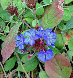 Ceratostigma foliage is just beginning to turn red.