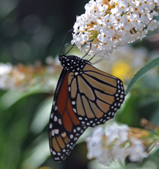 A monarch butterfly visits a Buddleia 'White Profusion' flower
