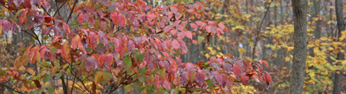 Native dogwoods have beautiful fall color
