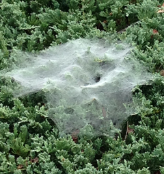 Funnel web on juniper
