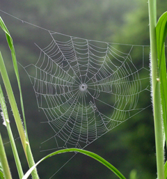 The beautiful web of an orb weaver