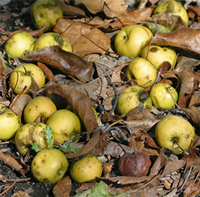 Fallen fruit and leaves from under quince may harbor rust spores.