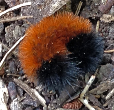 Woolly bears curl up in a tight ball when disturbed.