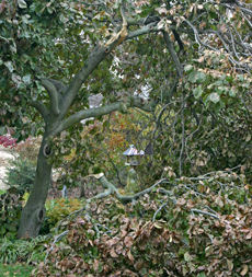 Deciduous magnolia broken in an early fall snowstorm.