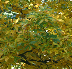 As the chlorophyll breaks down in this hickory, the yellow xanthophyll shows through.