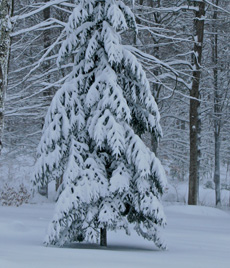 Flexible evergreen boughs bend under the weight of snow preventing heavy accumulation